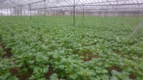 Crops in Greenhouse